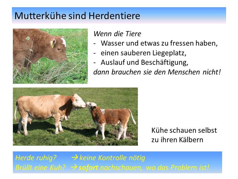 Mutterkühe sind Herdentiere