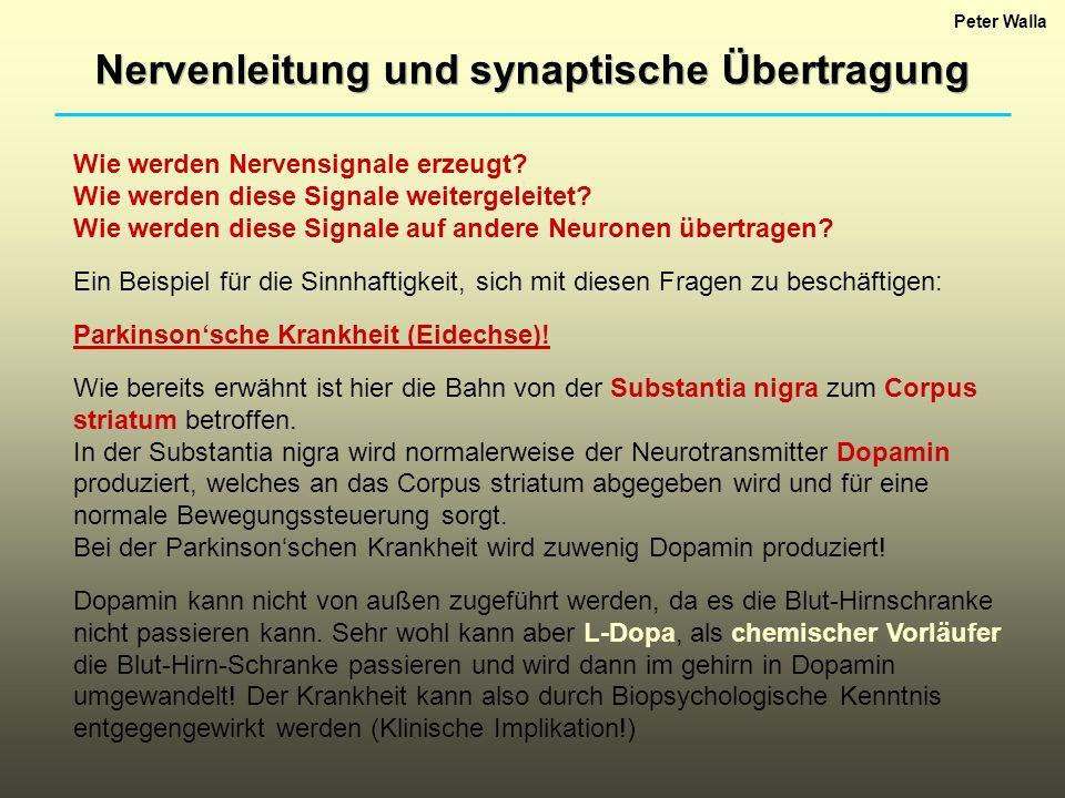 Nervenleitung und synaptische Übertragung