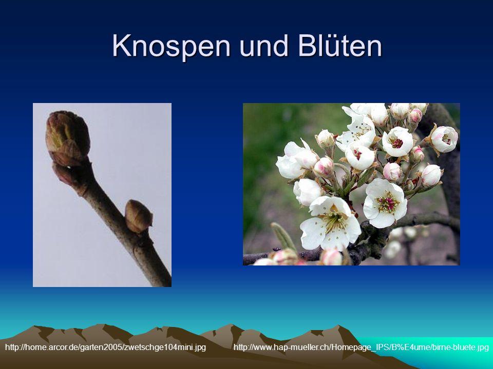Knospen und Blüten http://home.arcor.de/garten2005/zwetschge104mini.jpg.