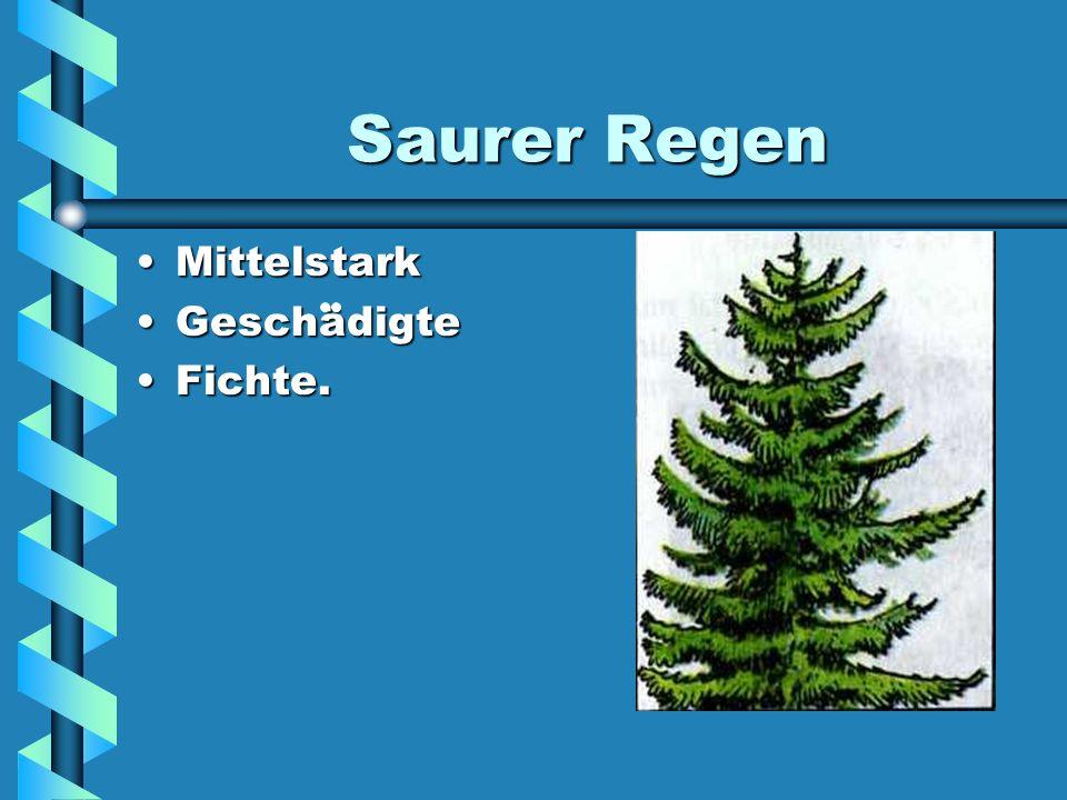 Saurer Regen Mittelstark Geschädigte Fichte.
