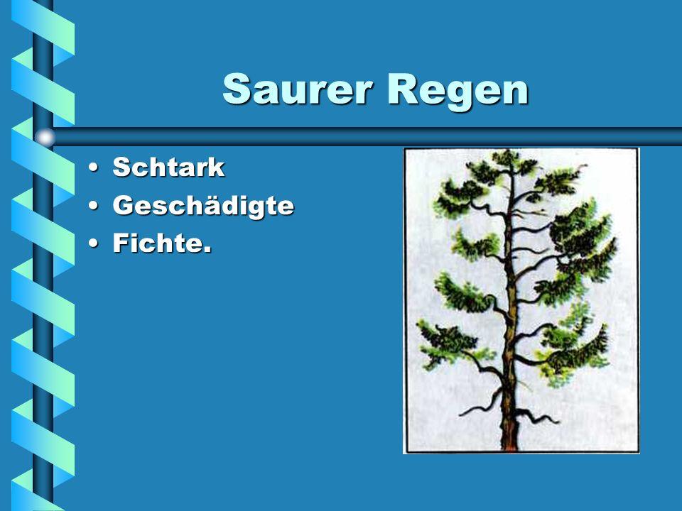 Saurer Regen Schtark Geschädigte Fichte.