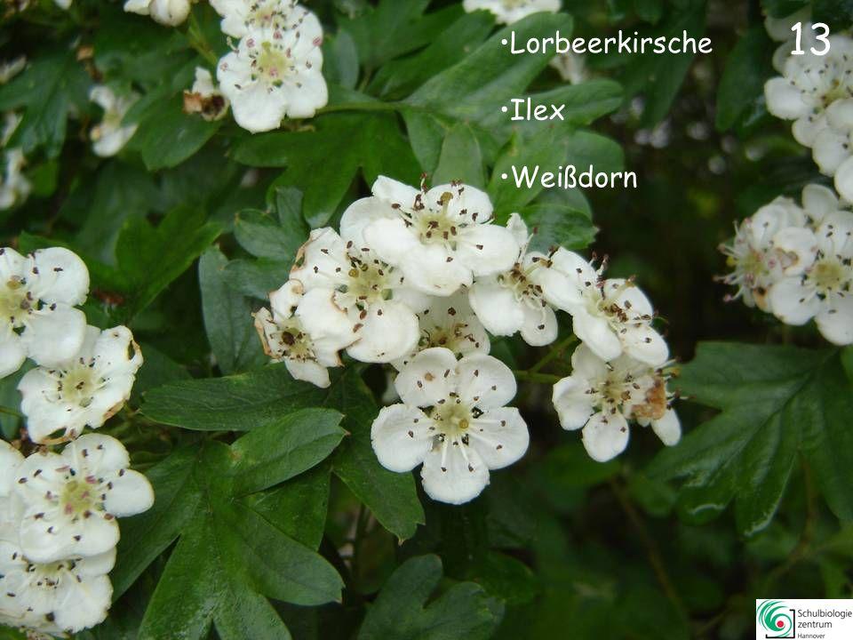 13 Lorbeerkirsche Ilex Weißdorn