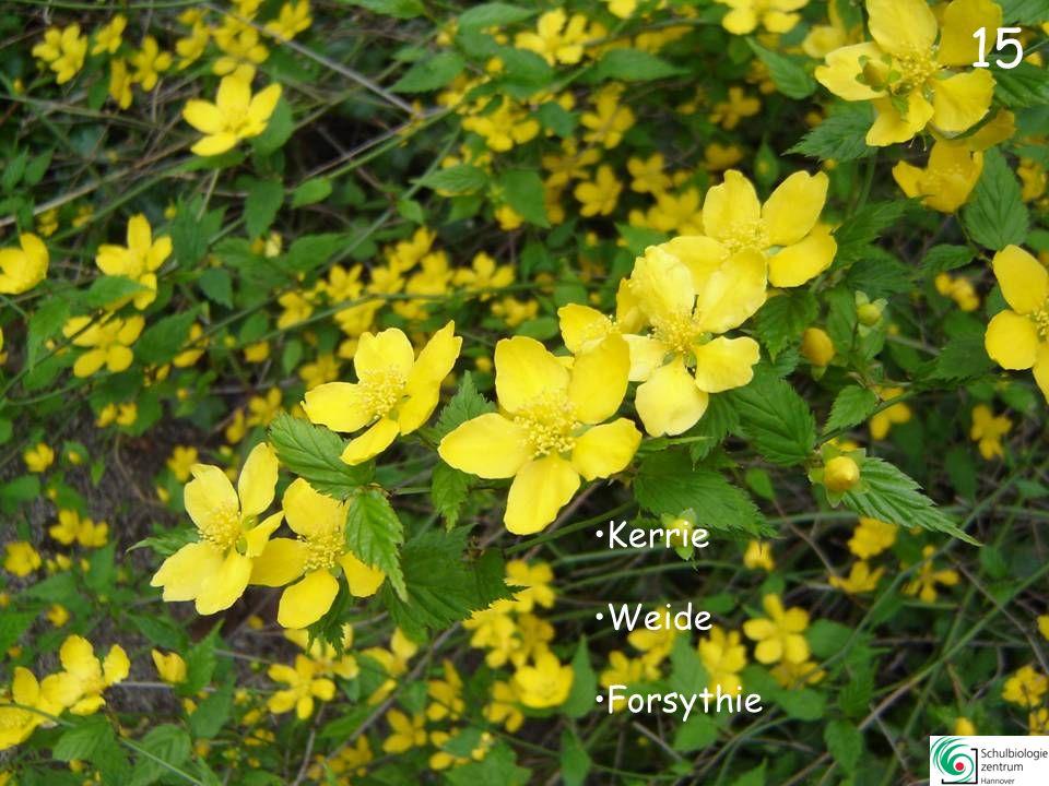 15 Kerrie Weide Forsythie