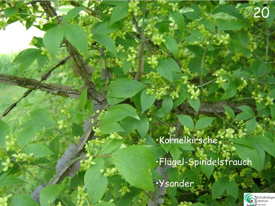 20 Kornelkirsche Flügel-Spindelstrauch Ysander