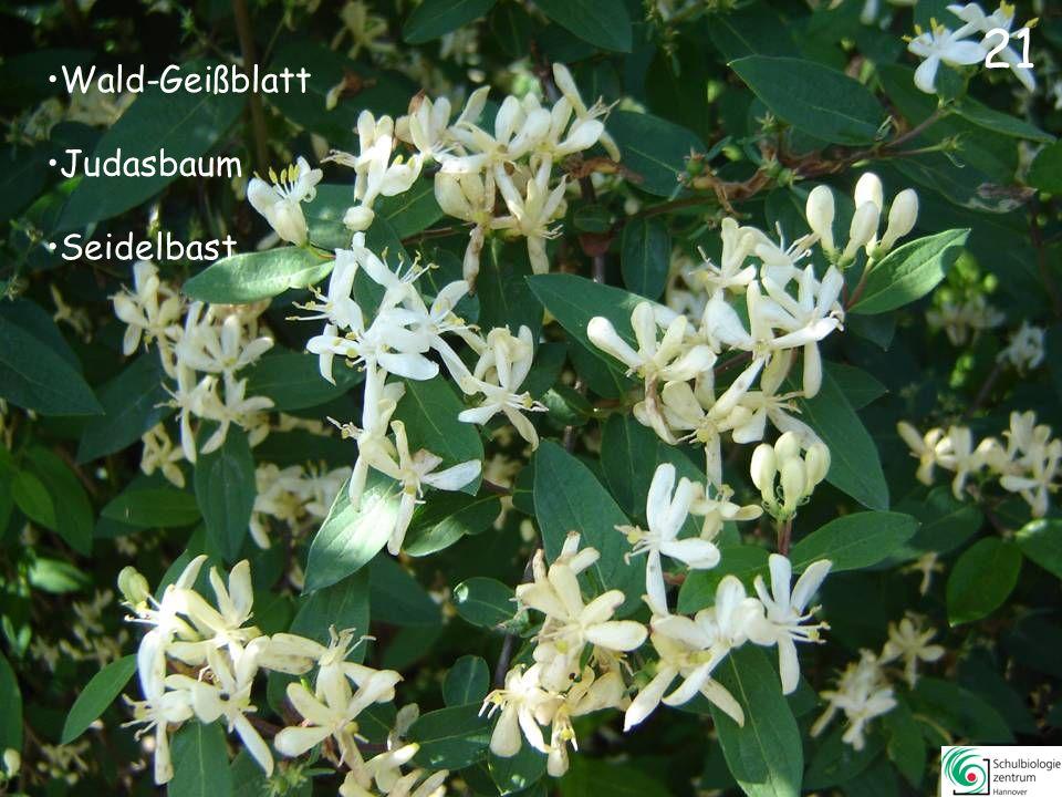 21 Wald-Geißblatt Judasbaum Seidelbast