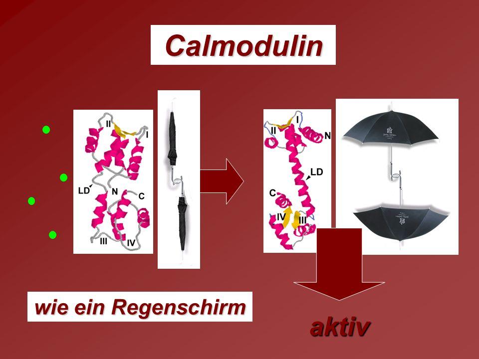Calmodulin wie ein Regenschirm aktiv