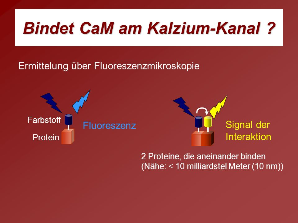 Bindet CaM am Kalzium-Kanal