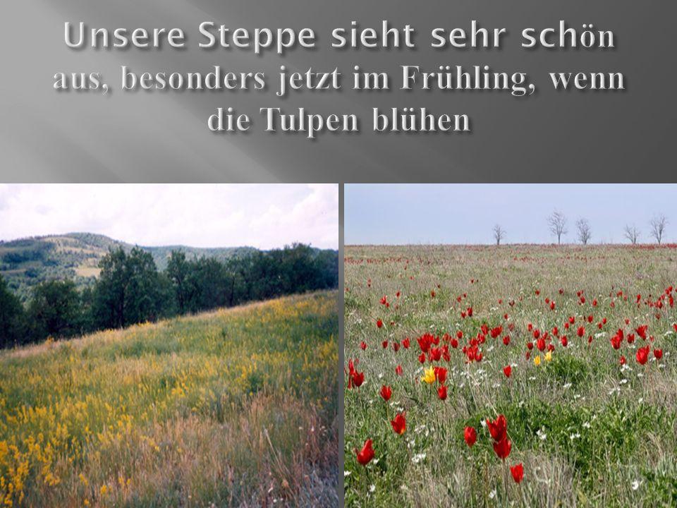 Unsere Steppe sieht sehr schön aus, besonders jetzt im Frühling, wenn die Tulpen blühen