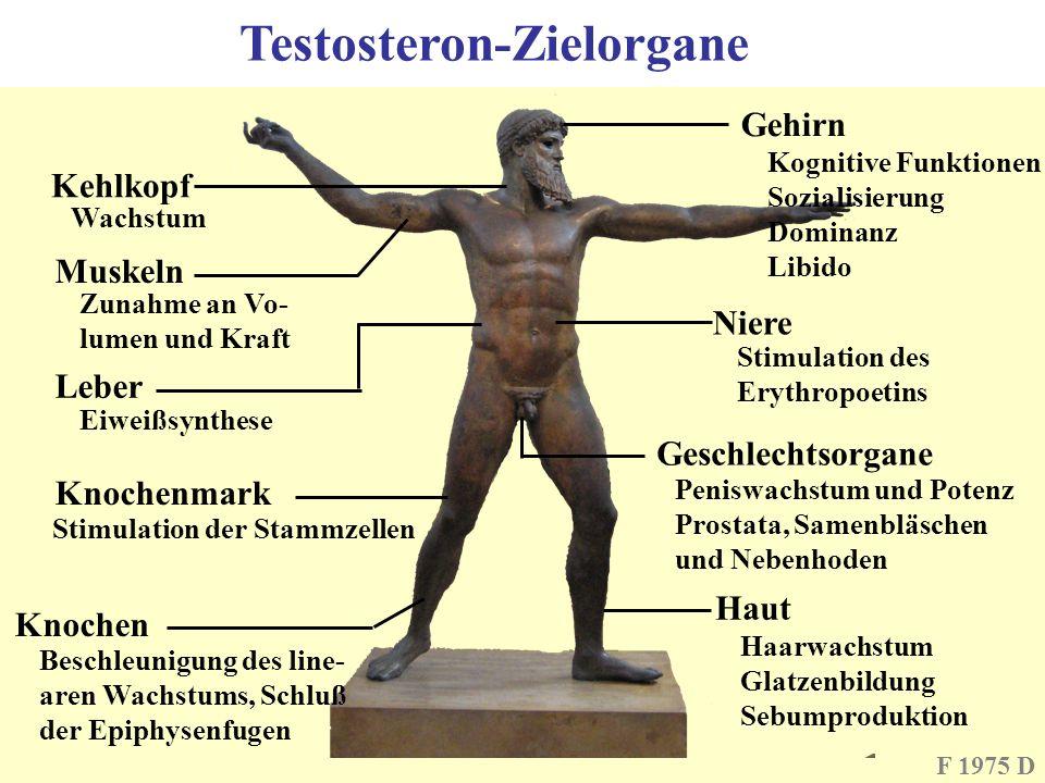 Testosteron-Zielorgane