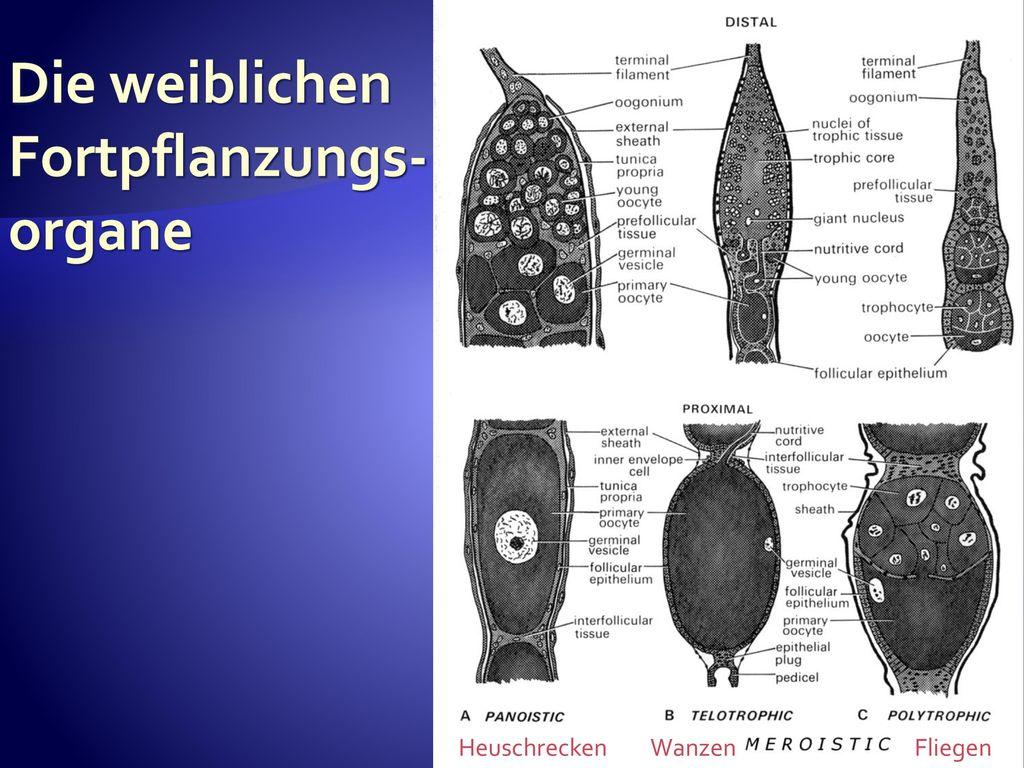Fein Weibliche Fortpflanzungs Bilder - Menschliche Anatomie Bilder ...
