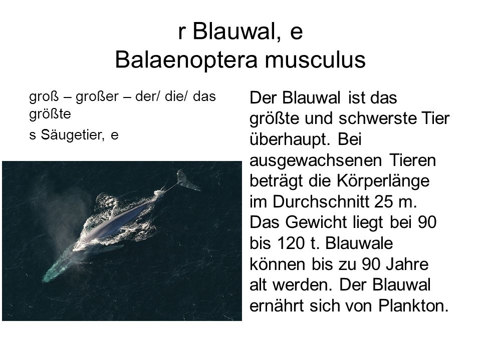 r Blauwal, e Balaenoptera musculus