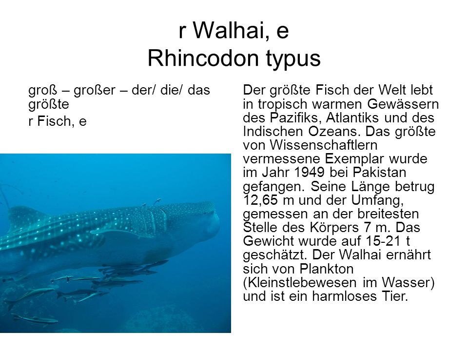 r Walhai, e Rhincodon typus