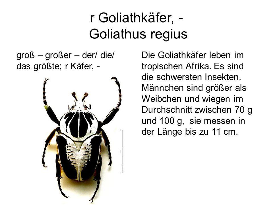 r Goliathkäfer, - Goliathus regius