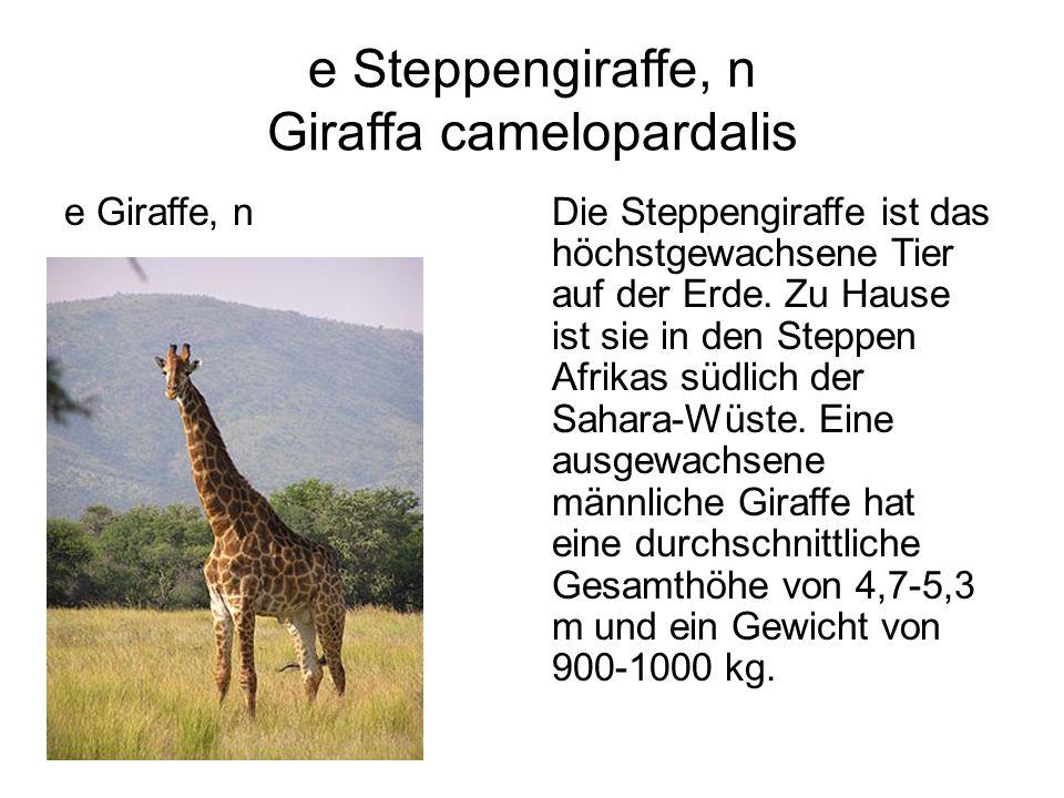 e Steppengiraffe, n Giraffa camelopardalis