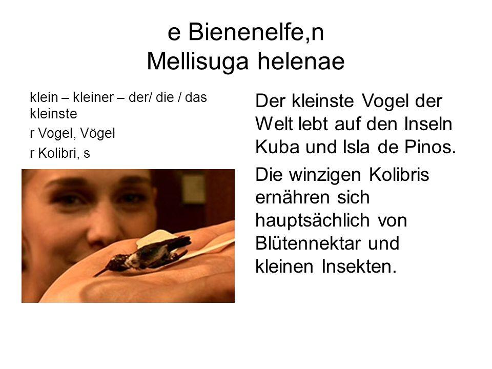 e Bienenelfe,n Mellisuga helenae