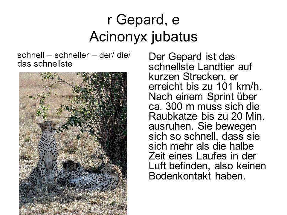 r Gepard, e Acinonyx jubatus