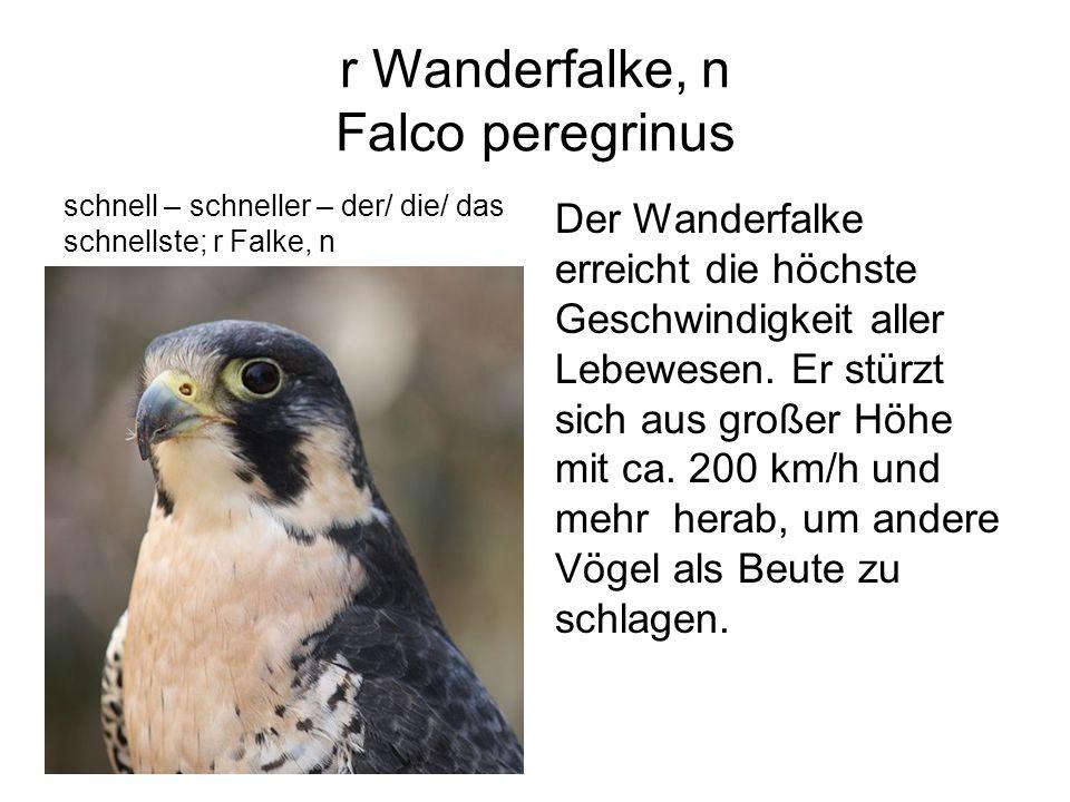 r Wanderfalke, n Falco peregrinus