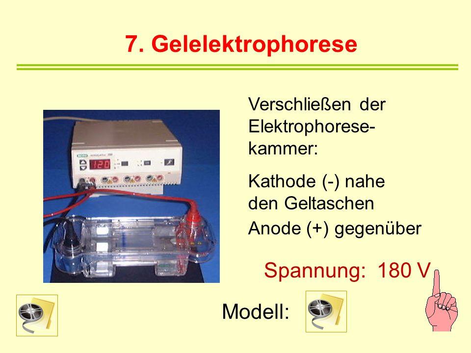 7. Gelelektrophorese Spannung: 180 V Modell: