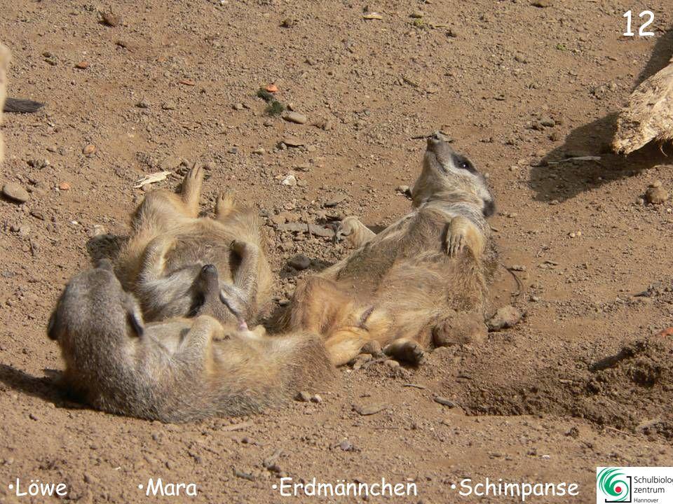 13 Elenantilope Dorcasgazelle Muntjak Mara
