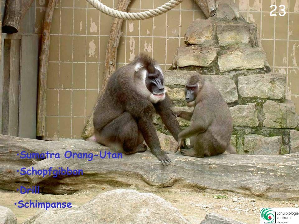 24 Schimpanse Gorilla Drill Orang-Utan
