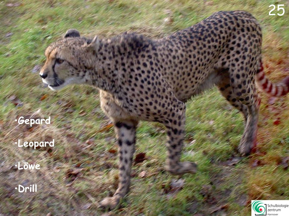 26 Vicunja Gepard Husumer Protestschwein Steppenzebra