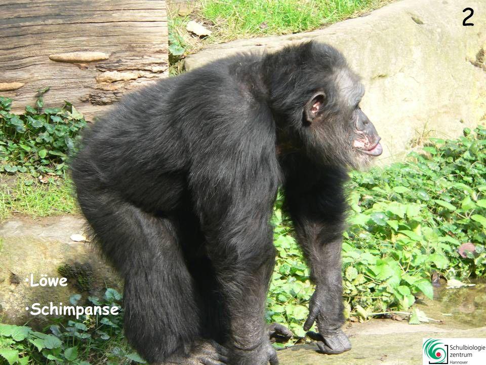 3 Asiatischer Elefant Löwe Schimpanse