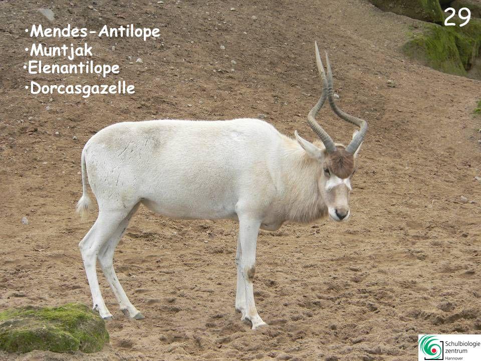 30 30 Erdmännchen Kalifornischer Seelöwe Mendes-Antilope Elenantilope
