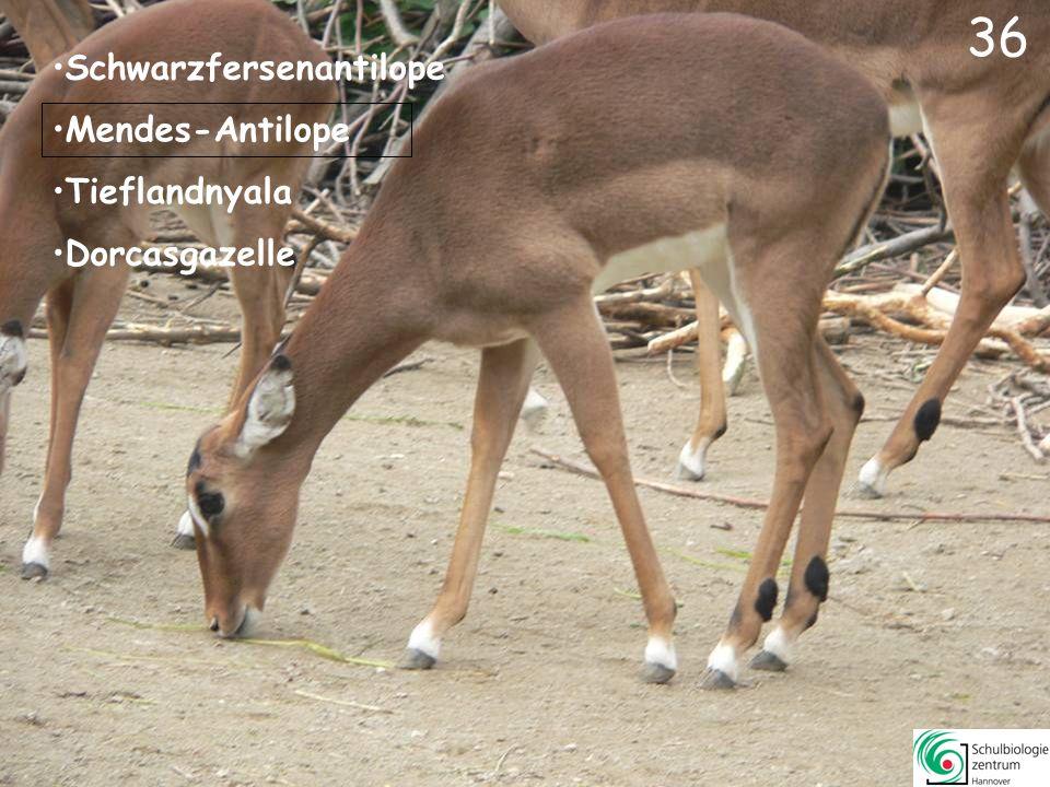 37 Erdmännchen Kurzohr-Rüsselspringer Stachelschwein Nasenbär