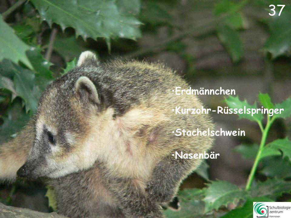 38 Springbock Somali-Wildesel Schwarzfersenantilope Dorcas Gazelle