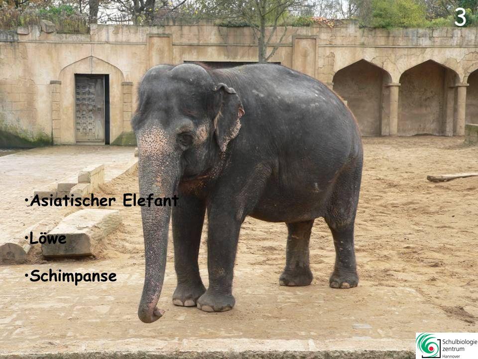 4 Löwe Schimpanse Wolf Asiatischer Elefant