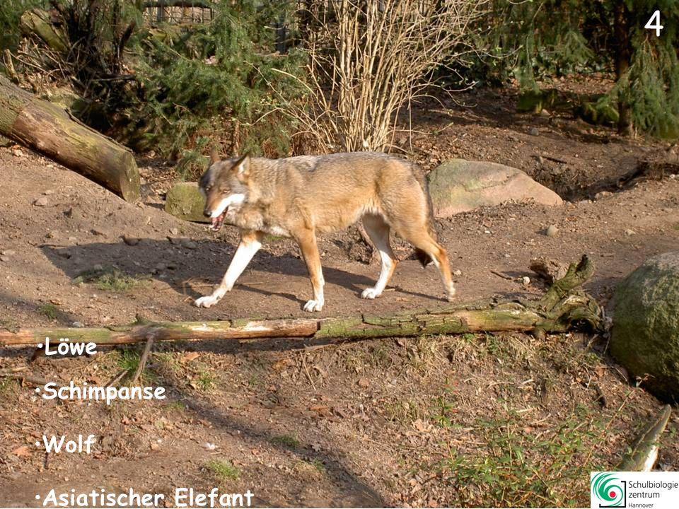 5 Löwe Somali-Wildesel Wolf Asiatischer Elefant