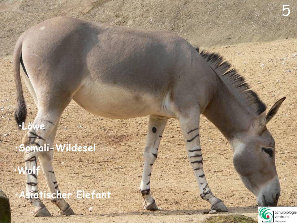 6 Löwe Dorcasgazelle Wolf Somali-Wildesel