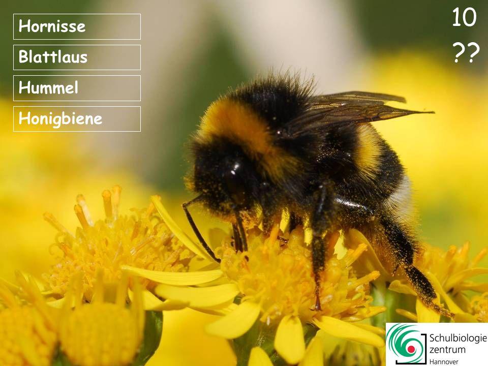 10 Hornisse Blattlaus Hummel Honigbiene