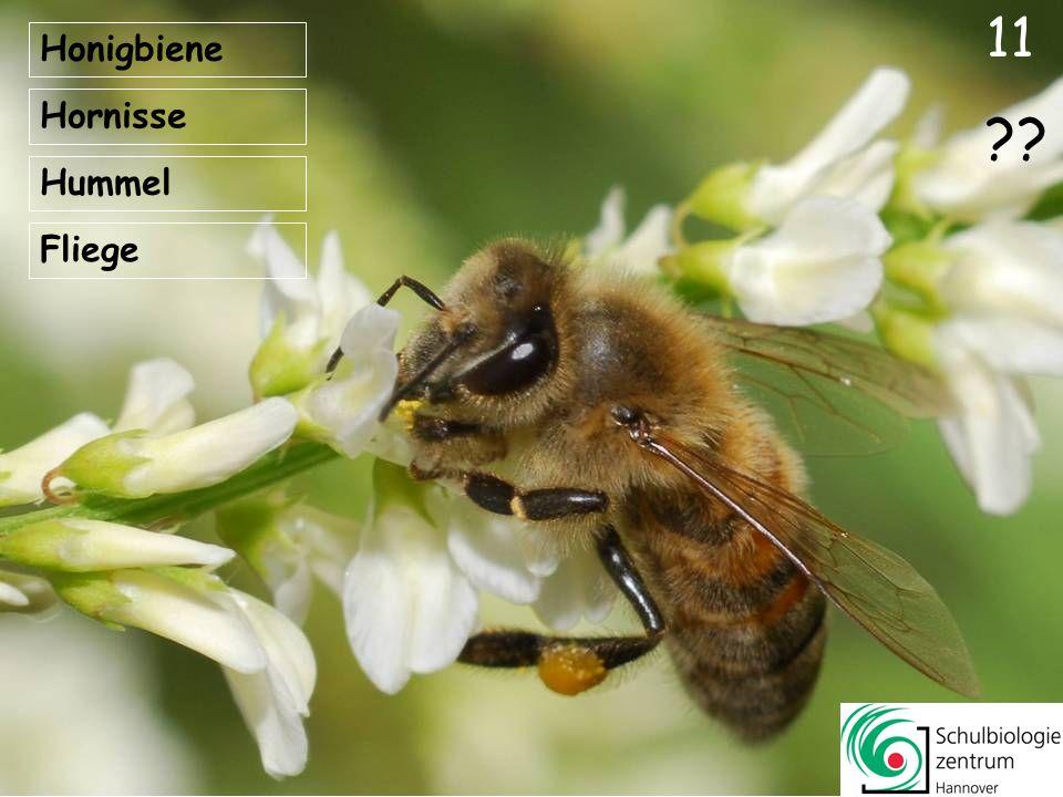 11 Honigbiene Hornisse Hummel Fliege