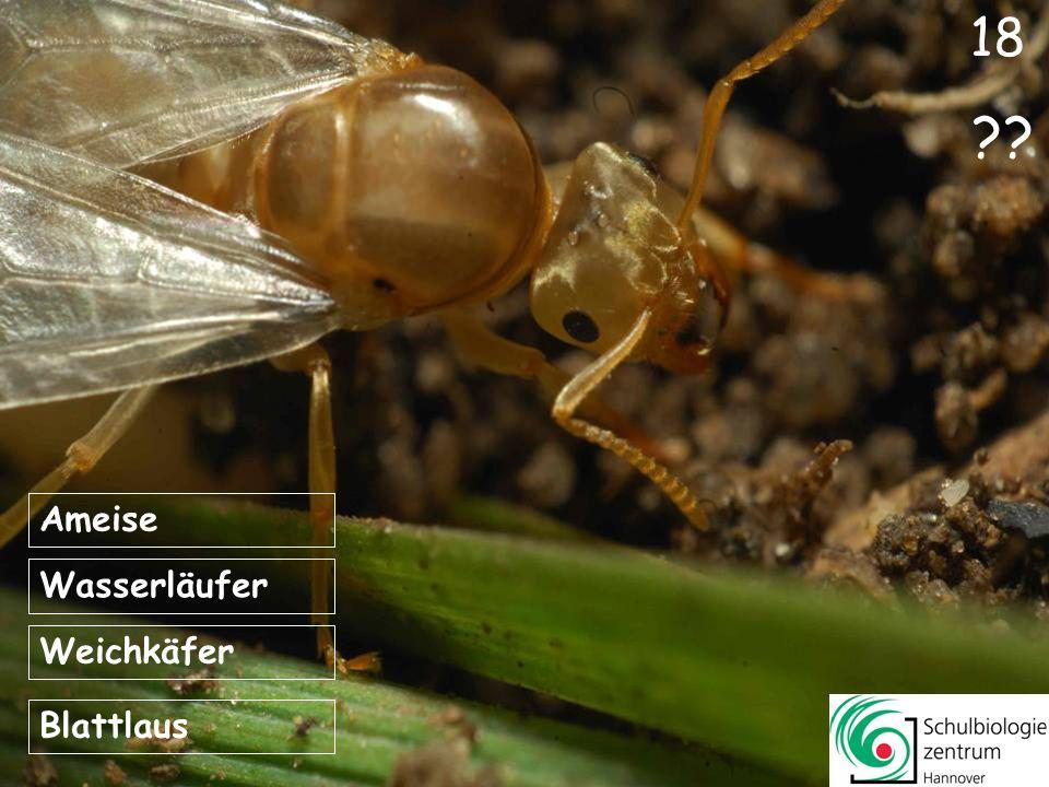 18 Ameise Wasserläufer Weichkäfer Blattlaus