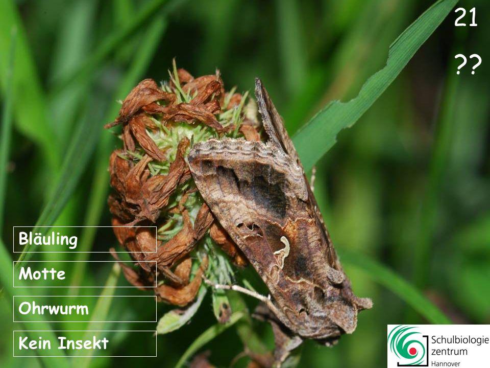 21 Bläuling Motte Ohrwurm Kein Insekt