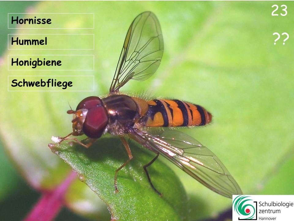 23 Hornisse Hummel Honigbiene Schwebfliege