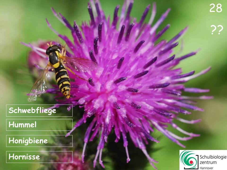 28 Schwebfliege Hummel Honigbiene Hornisse