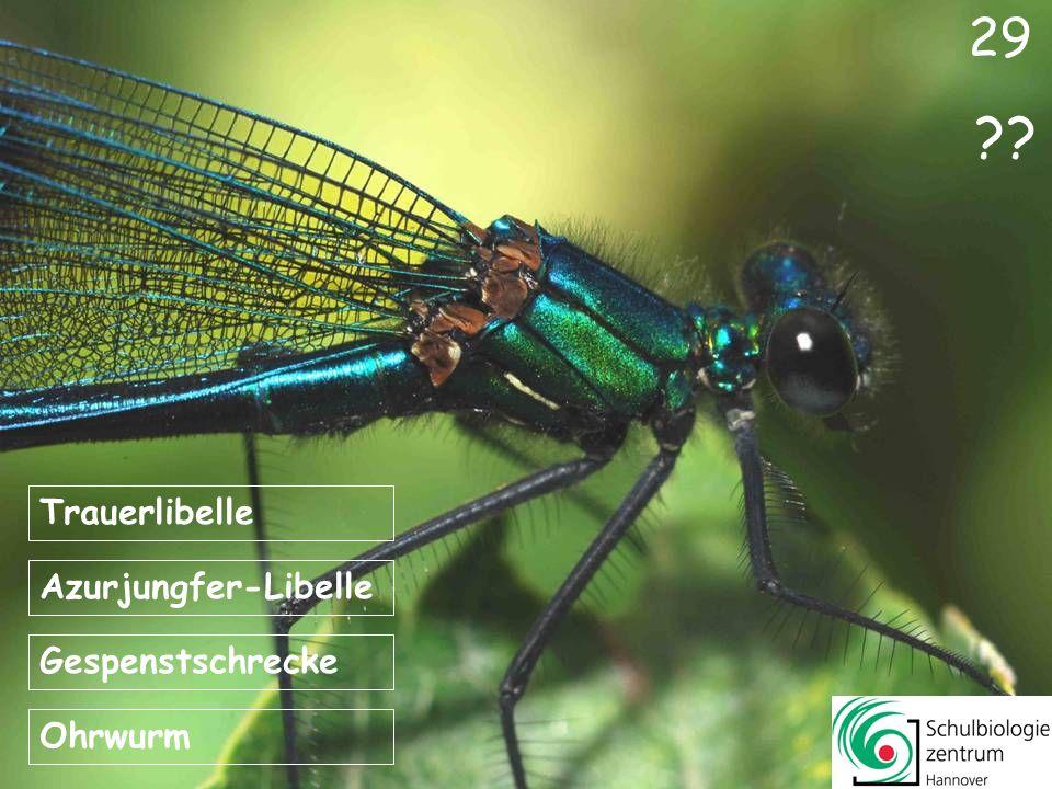 29 Trauerlibelle Azurjungfer-Libelle Gespenstschrecke Ohrwurm