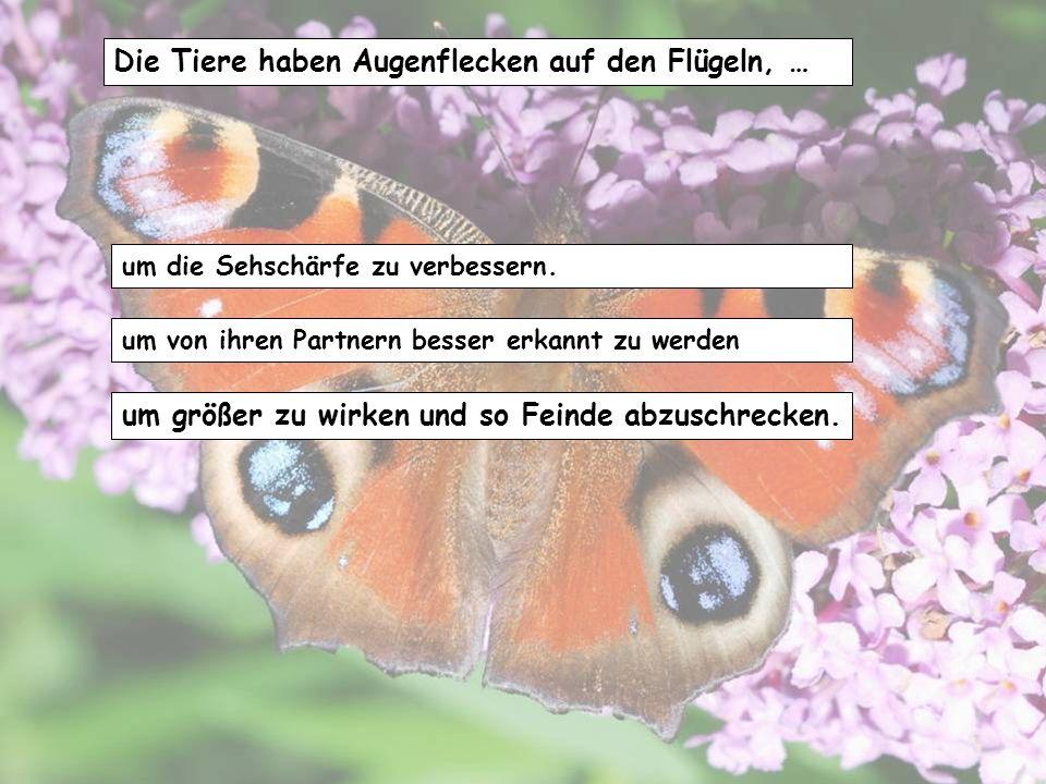 Die Tiere haben Augenflecken auf den Flügeln, …
