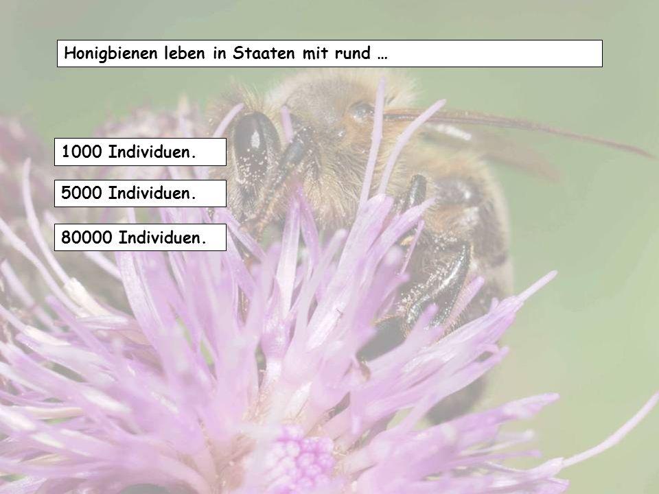 Honigbienen leben in Staaten mit rund …