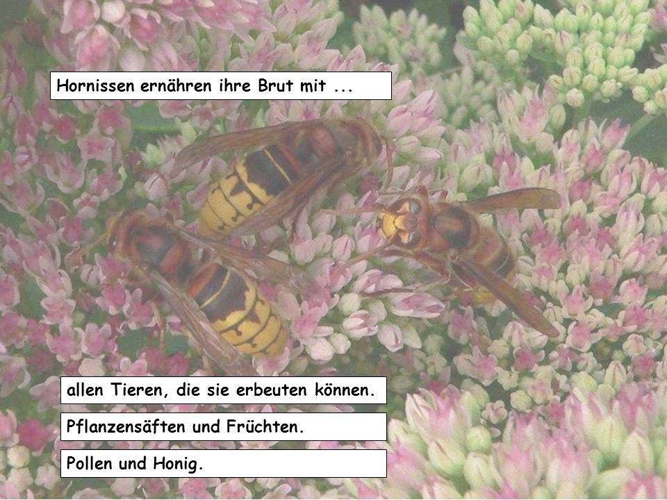 Hornissen ernähren ihre Brut mit ...