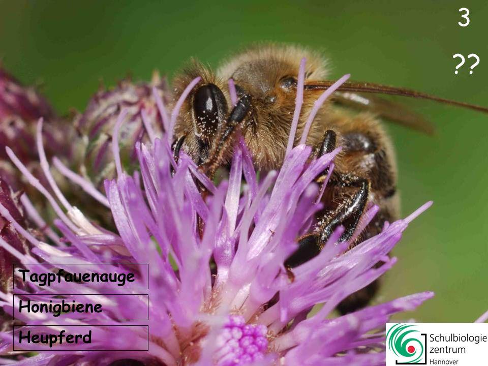 3 Tagpfauenauge Honigbiene Heupferd