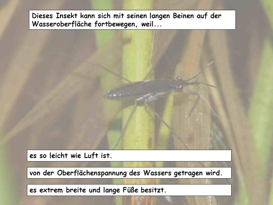 Dieses Insekt kann sich mit seinen langen Beinen auf der Wasseroberfläche fortbewegen, weil...