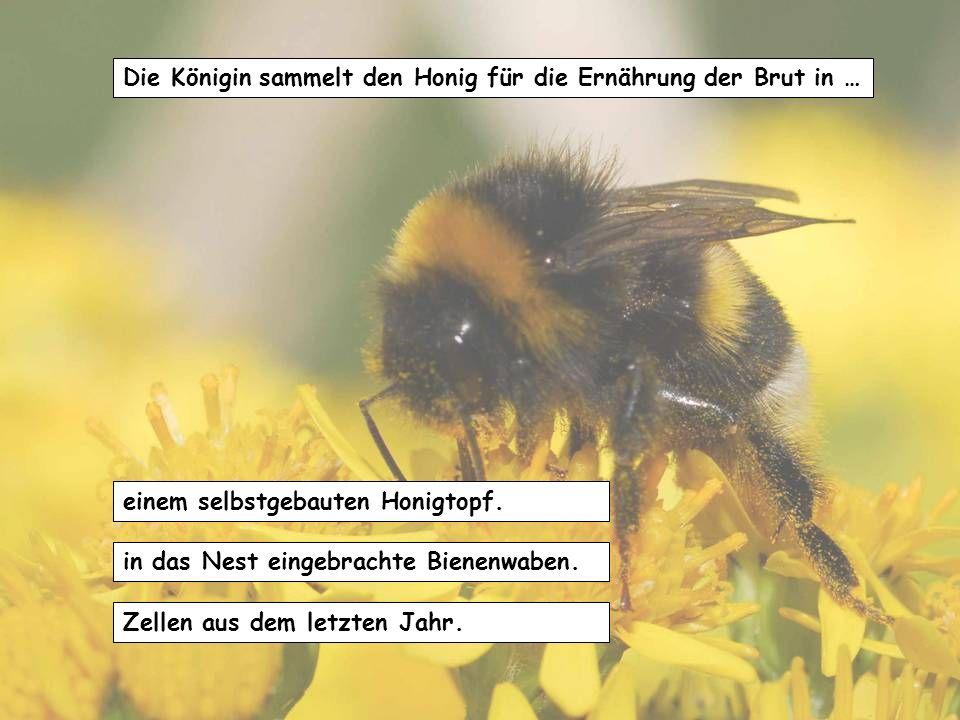 Die Königin sammelt den Honig für die Ernährung der Brut in …