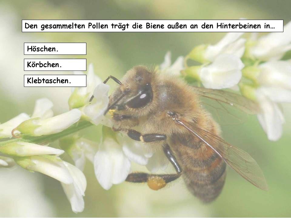 Den gesammelten Pollen trägt die Biene außen an den Hinterbeinen in…