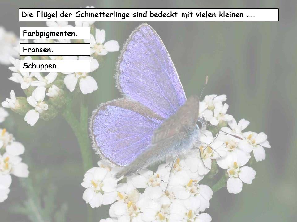 Die Flügel der Schmetterlinge sind bedeckt mit vielen kleinen ...