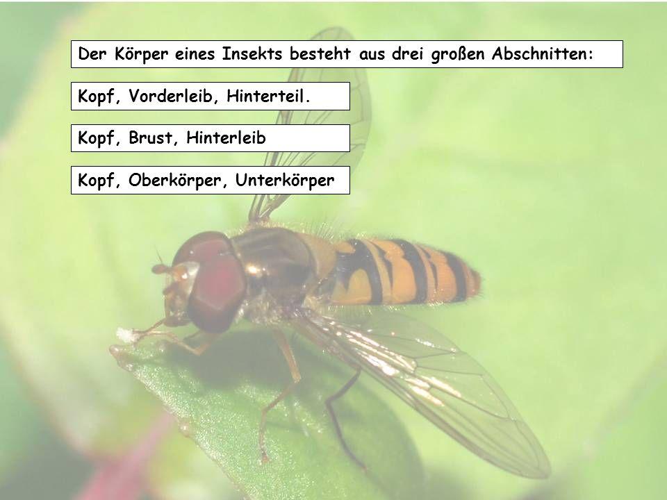 Der Körper eines Insekts besteht aus drei großen Abschnitten: