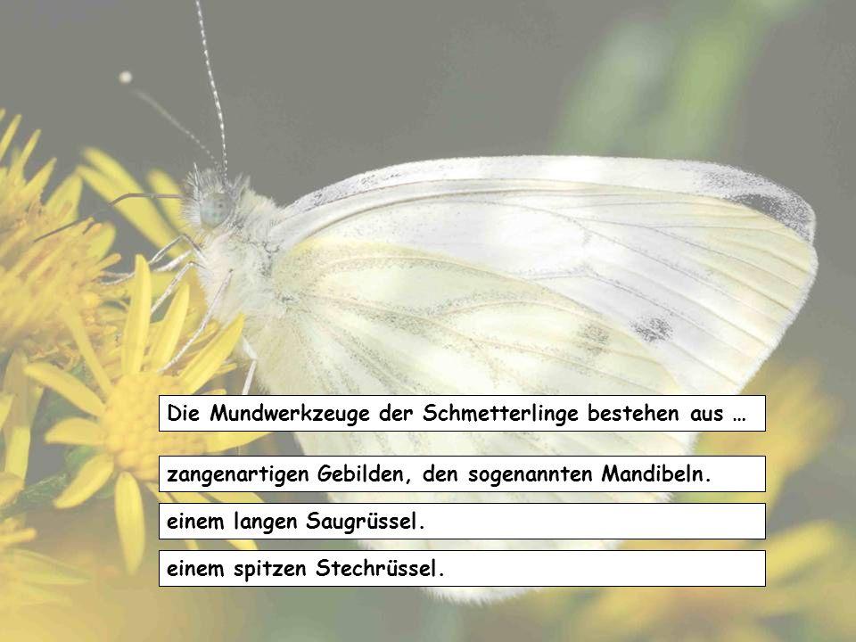 Die Mundwerkzeuge der Schmetterlinge bestehen aus …