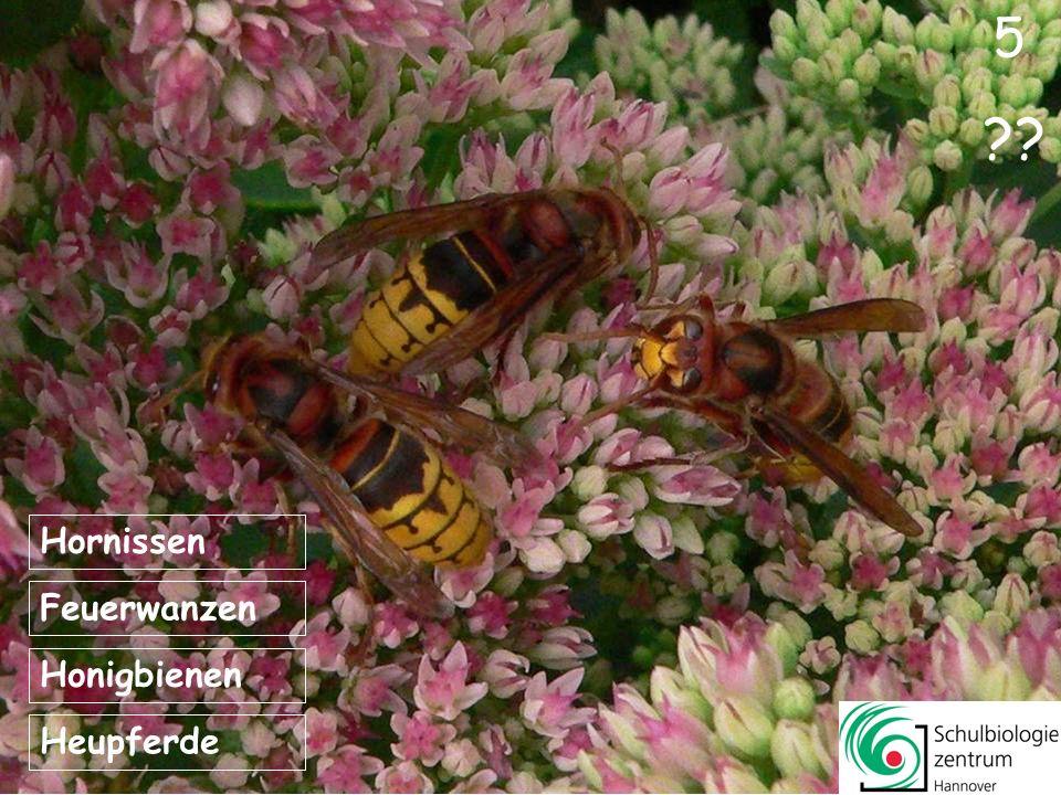 5 Hornissen Feuerwanzen Honigbienen Heupferde